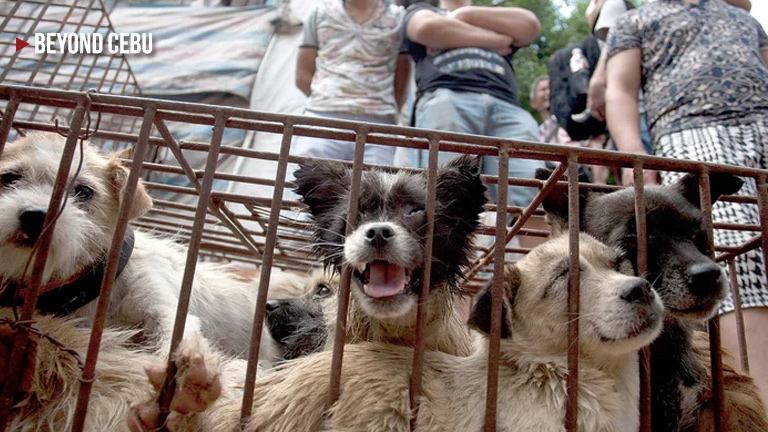 How did China's Dog Meat Festival start and could we ever ban it?